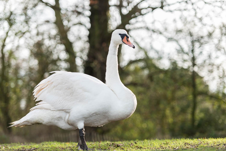 Haughty Swan