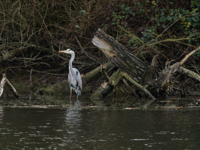 348/365v2 The Grey Heron at Alton Water
