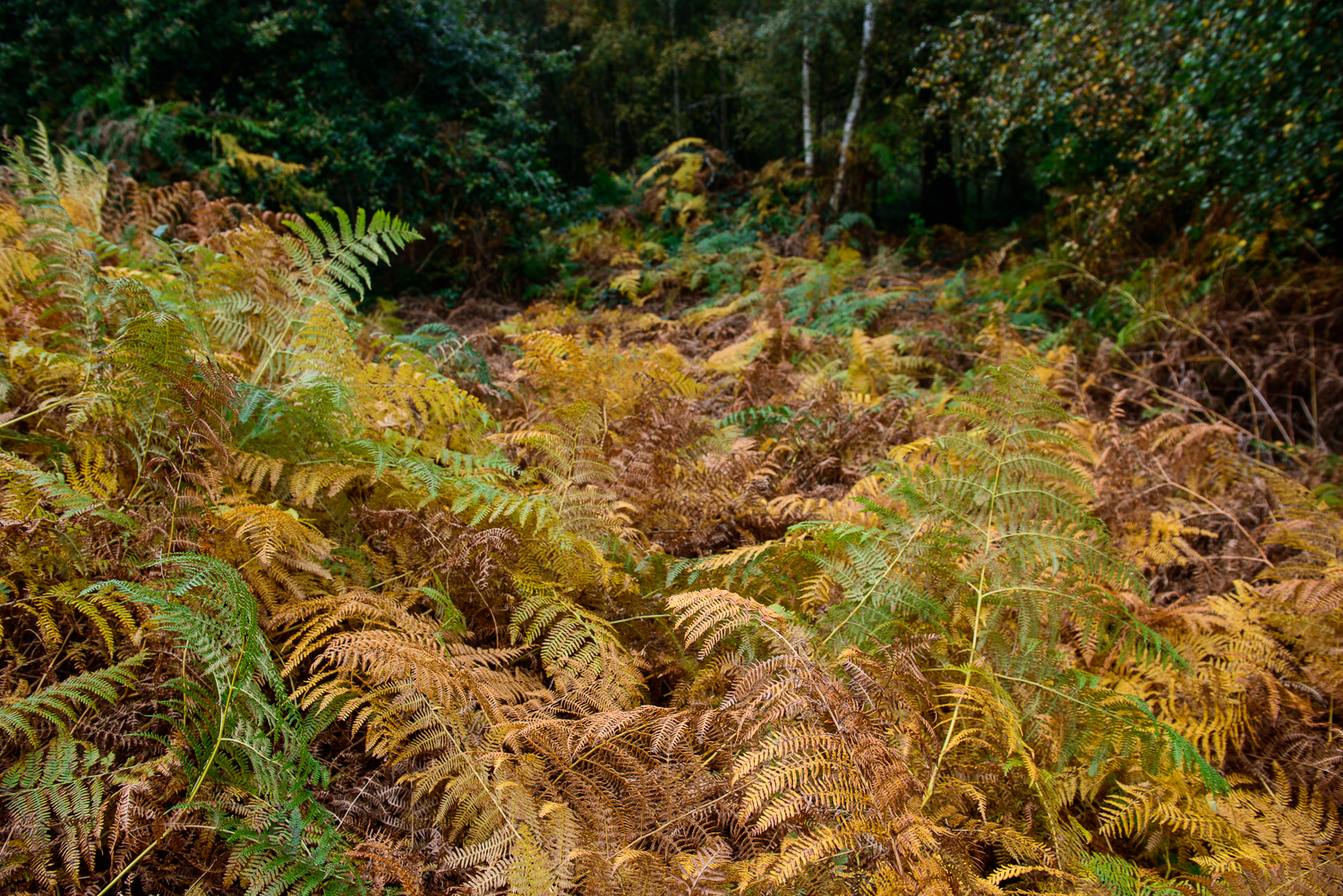 Autumnal Bracken