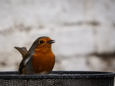 "115/365v3 – Mr Robin Says ""Happy Christmas"""