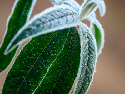 120/365v3 – Frosty Leaves