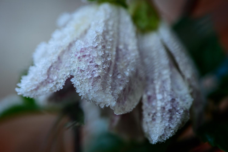 Frosty Leaves 2