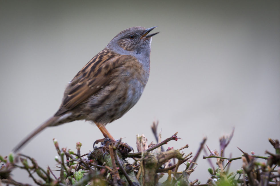 189/365v3 Singing Dunnock