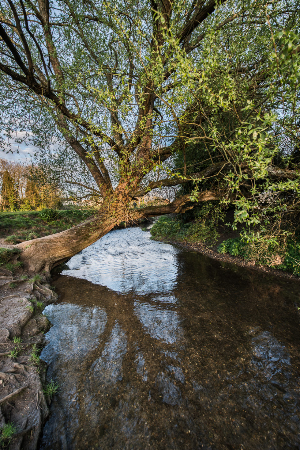 214/365v3 Tree over the River Chelmer