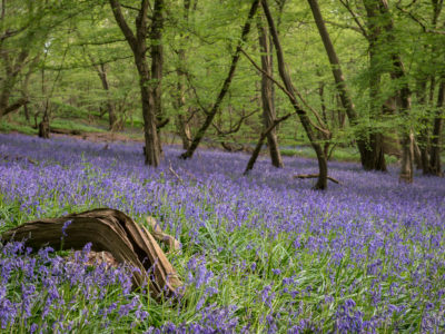 229/365v3 – Bluebells in Mill Wood