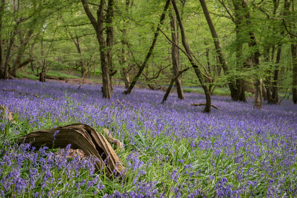 229/365v3 – Bluebells in Mill Wood