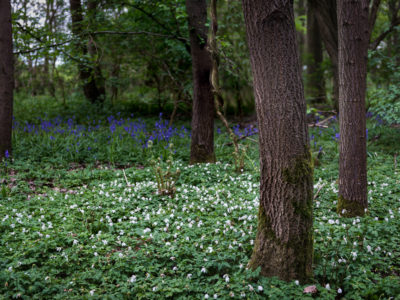 236/365v3 – Wood Anemone v Bluebells