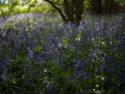 242/365v3 – Around, Around The Bluebells