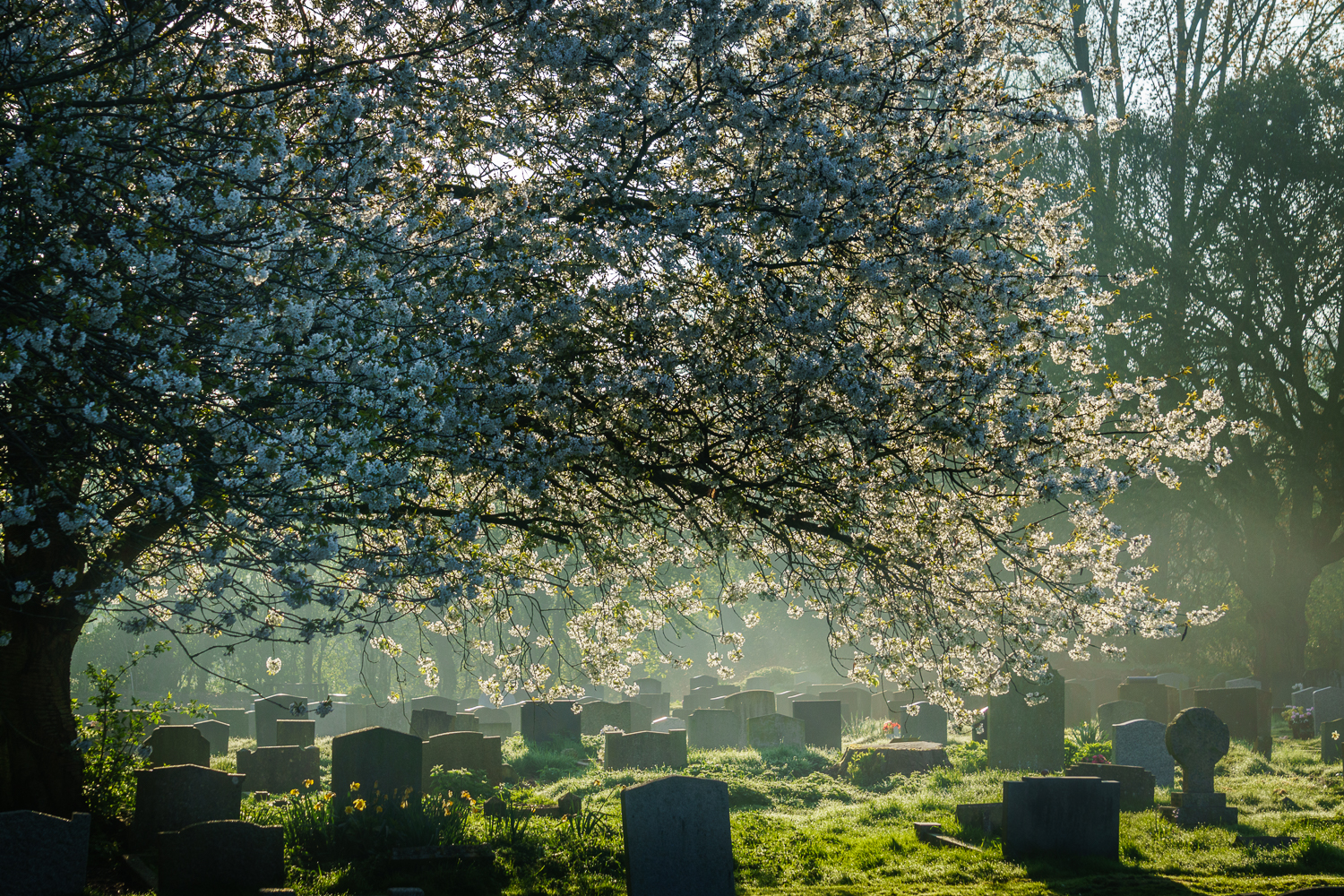 Blossom over the Gravestones