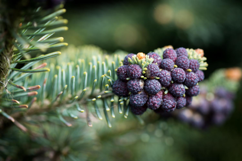 RHS Garden Hyde Hall - mini pine cones