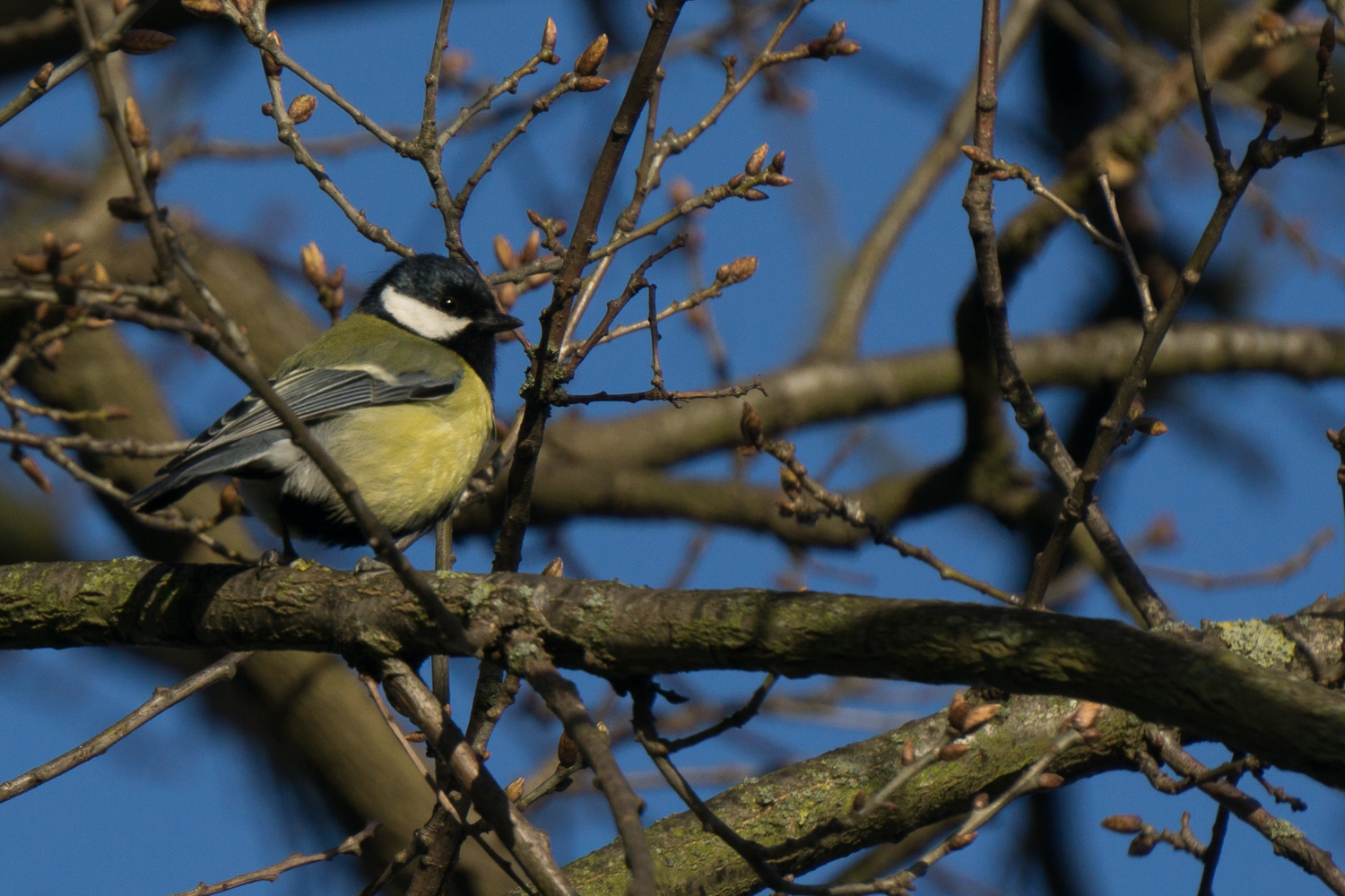 Great Tit (Parus-major)