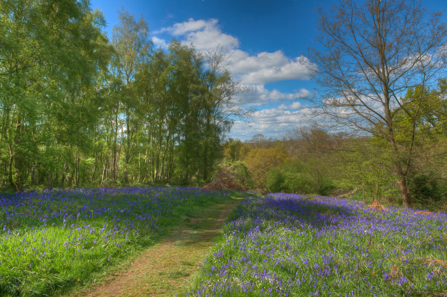 The Bluebells of Arger Fen & Spouses Vale