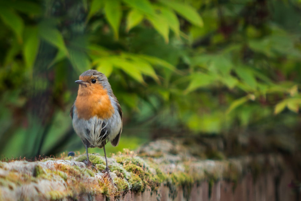 254/365v3 – Mr Robin needs a brush up