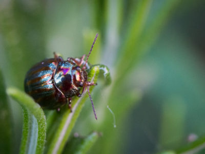 266/365v3 – Rosemary Beetle