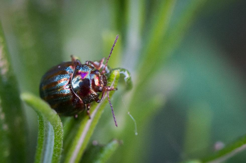 266-365v3 - Rosemary Beetle