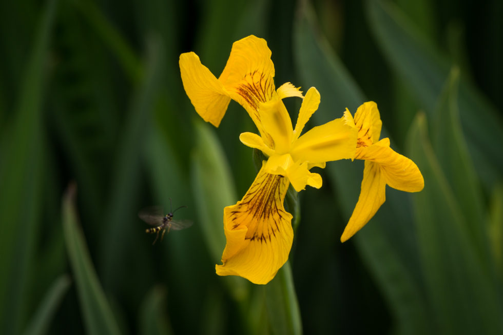 270-365v3 – Yellow Iris and Hoverfly
