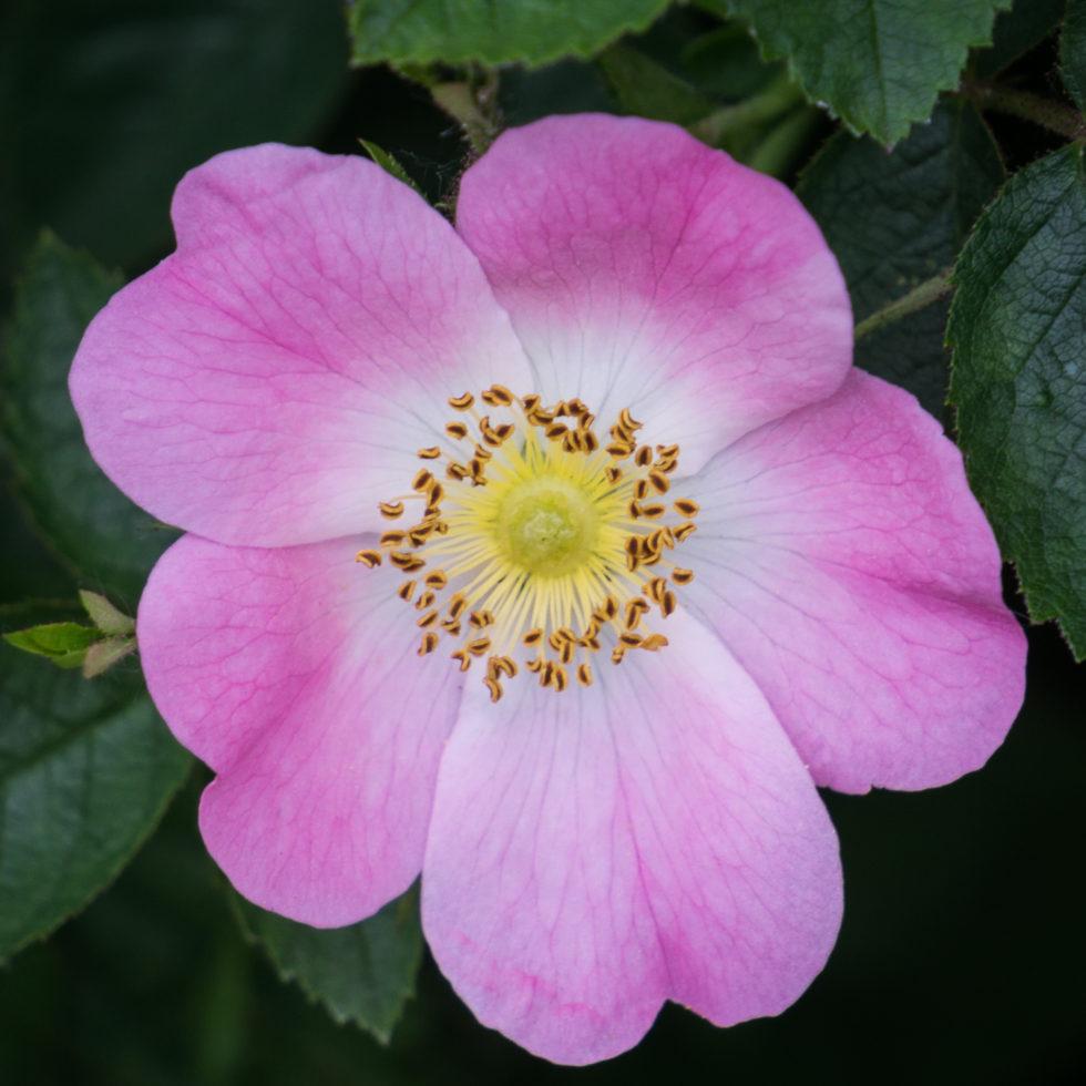 272-365v3 – Dog Roses