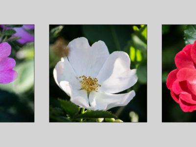 277-365v3 Triptych of Dog Roses