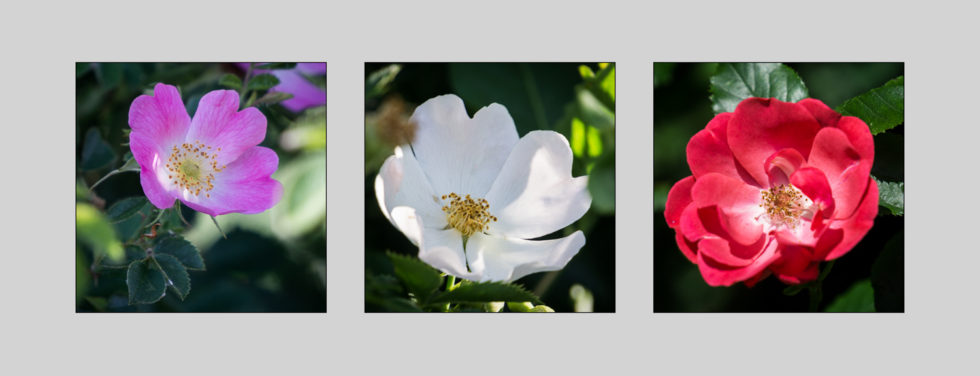 277-365v3 Triptych of Dog Roses