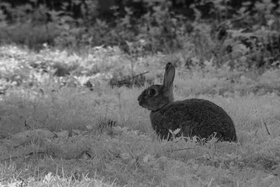 279/365v3 Infra-Red Bunny