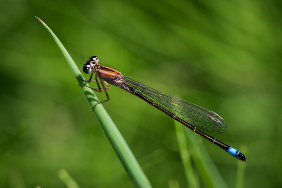 290-365v3 Blue Tailed Damselfly
