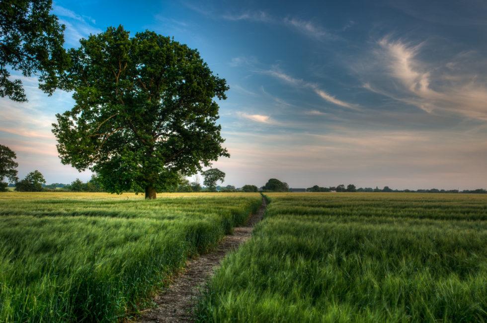 292/365v3 A Path Through the Barley