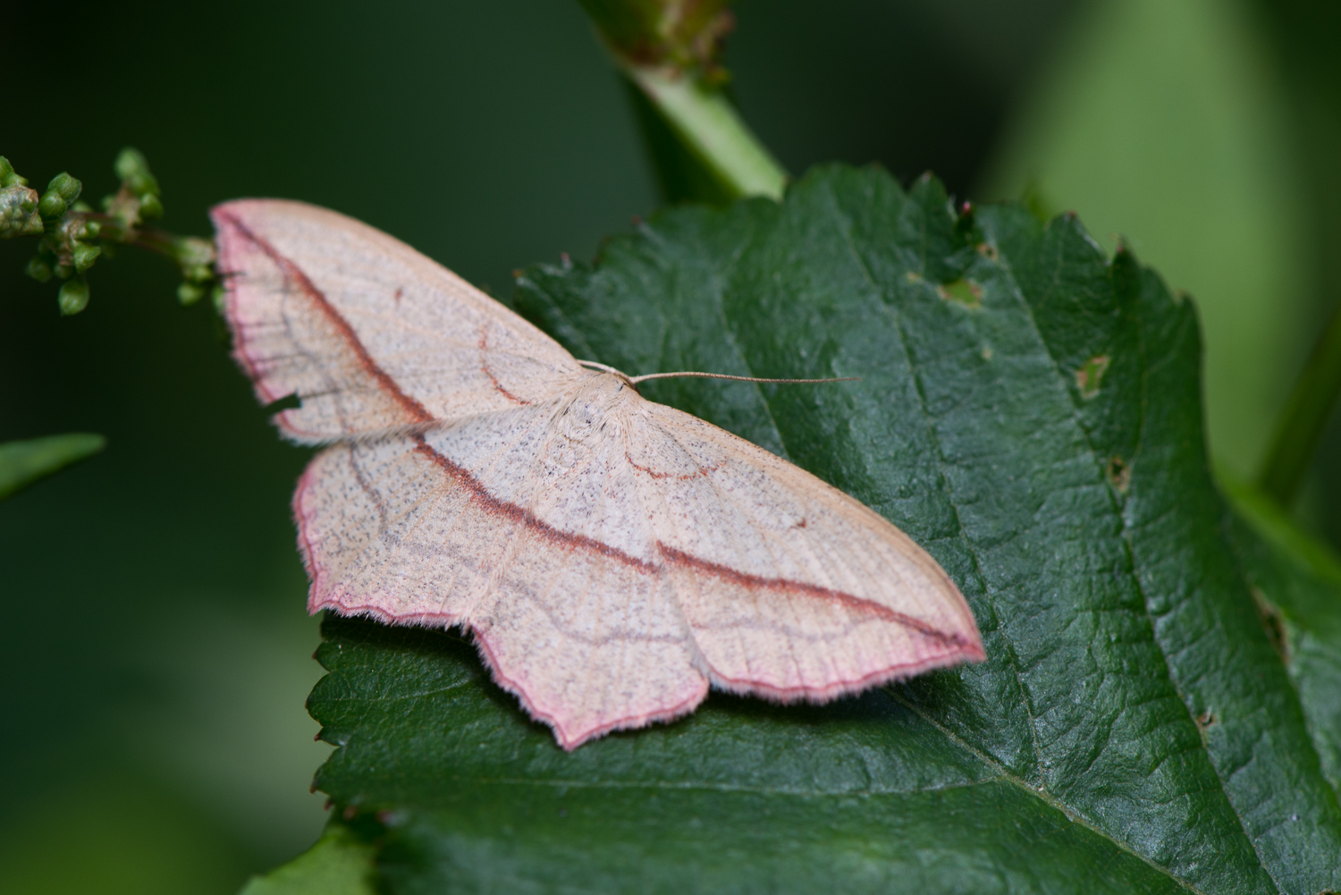 Blood-Vein Moth, Timandra comae