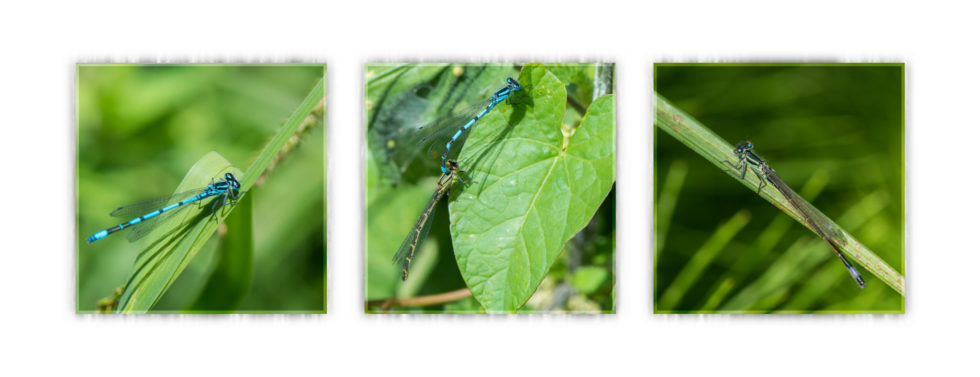 276-365v3 Damselflies at Phyllis Currie Nature Reserve