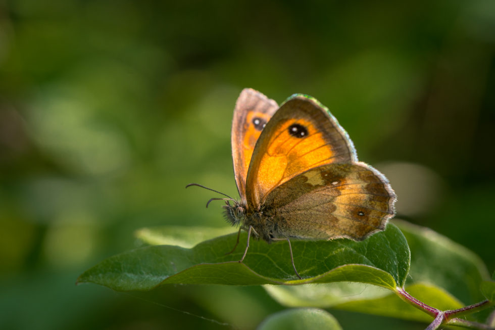 Gatekeeper Butterfly , Pyronia tithonus