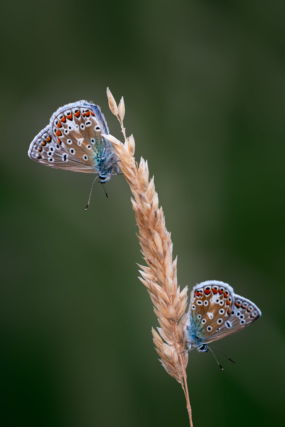A Pair of Common Blues