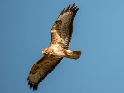 Buzzard Fly Past