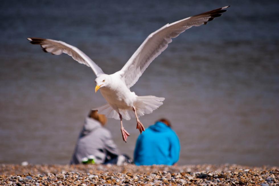 A seagull at Aldeburgh