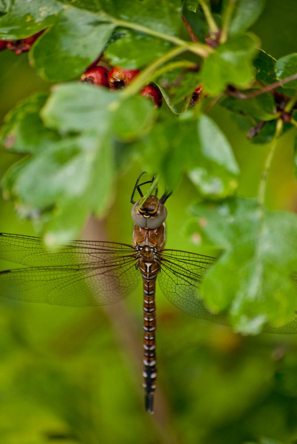 Migrant Hawker Dragonfly, Aeshna mixta