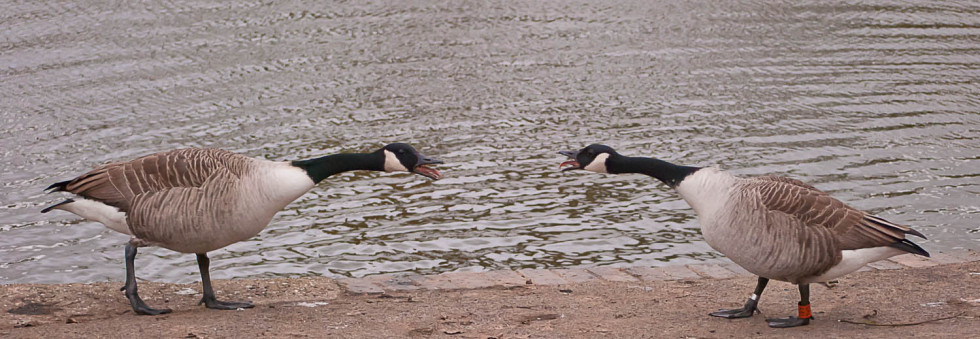Duelling Geese on Doctors Pond in Great Dunmow