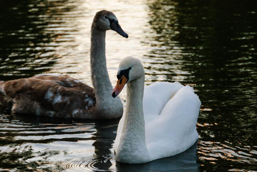 Swans on Doctors Pond