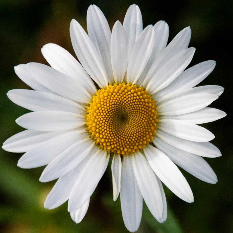 Hypnotic Daisy