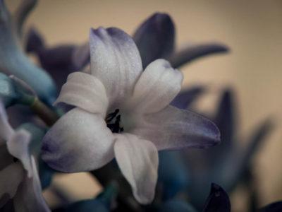066/365v2 Hyacinth