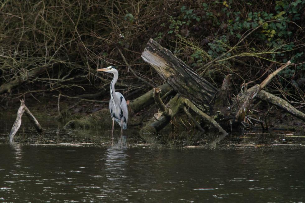 348/365v2 The Grey Heron at Alton Water