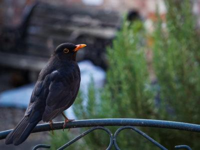 167/365v3 – Blackbird (Turdus merula)