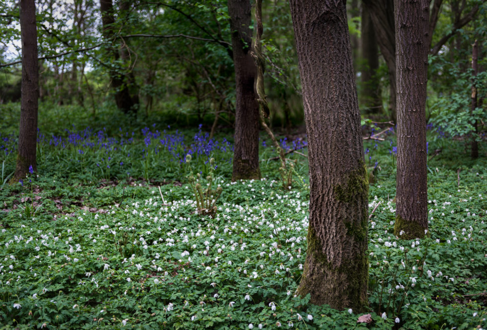 236-365v3 - Wood Anemone v Bluebells