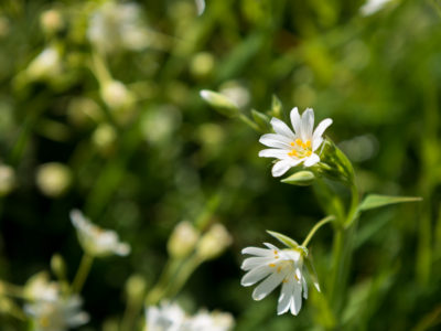 237/365v3 – Greater Stitchwort