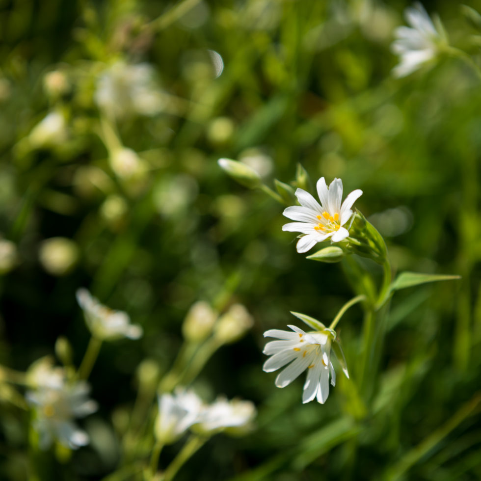 237-365v3 - Greater Stitchwort