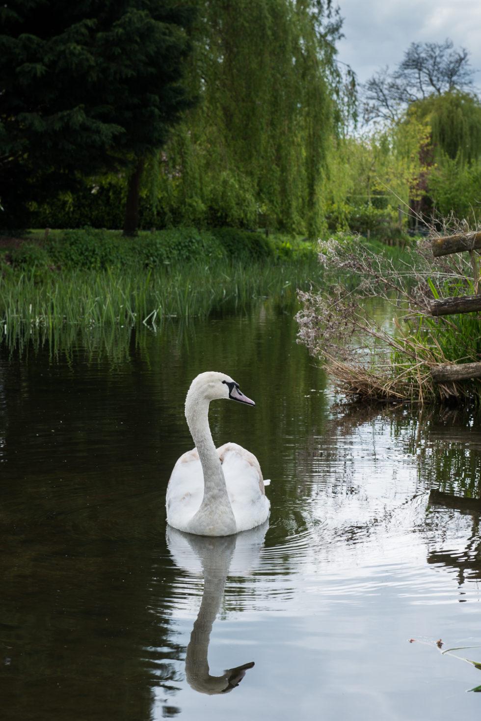 240-365v3 - The Immature Swan