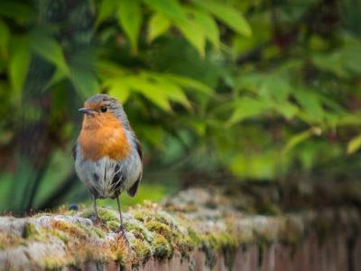 254/365v3 – Mr Robin needs a brush up