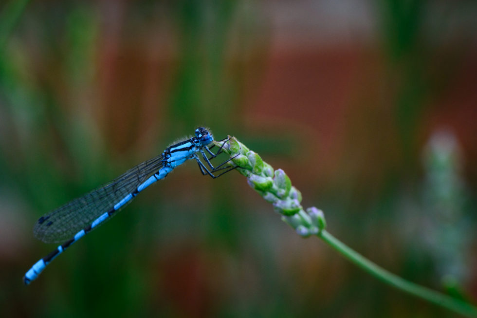 294/365v3 – A Common Blue Damselfly in the garden