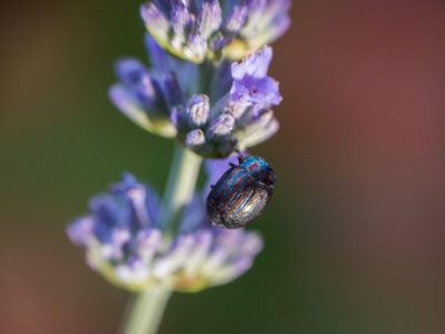 301/365v3 – Rosemary Beetle on Lavender