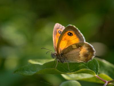 Gatekeeper Butterfly , Pyronia tithonus